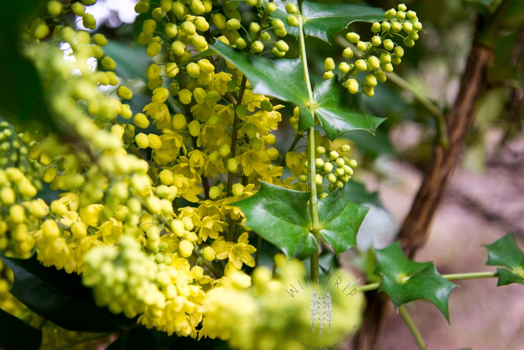 Tall Oregon grape at the Arboretum. A winter bloomer and a huge attractant to Anna's Hummingbirds.