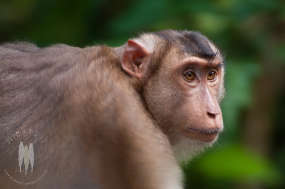 The deep eyes of female Southern Pig-tailed Macaque in the lowland rainforest of Sepilok, Sabah, Malaysian Borneo. (2011)