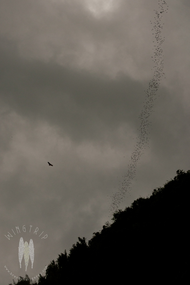 A pulsing stream of bats leaving the Gomantong Caves, Sabah, Malaysian Borneo. A Brahminy Kite is nearby, waiting to grab a meal. This was a favorite spot in Borneo. And the most terrifying drive of my life when we left that night. (2011)