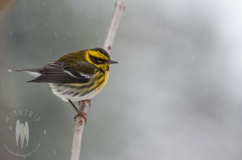 This Townsend's Warbler had me bothering it for three hours while it visited my parents' bird feeder. This was a small slice of what it means to stake out a bird, but the end result was exciting. What a light in the middle of winter. (2012)