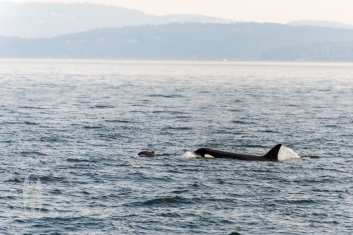 A Harbor Porpoise about to become dinner to a Transient Orca.