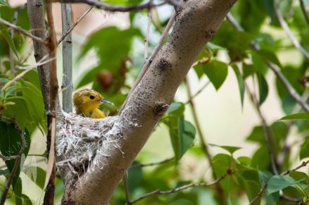 I found this this female Yellow Warbler building her nest, in the middle of a frenzy of birders at the Malheur National Wildlife Refuge Field Station, in Oregon. She was constantly struggling with the spider webs for the nest. Taking pictures of this behavior sold me on owning a DSLR. (2010)