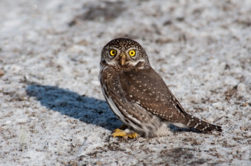 This Northern Pygmy-owl was probably a bit less shy than usual because of the cold. We watched it hit a snow bank hunting for food beneath the crust before landing on the road mere feet from us. What a bird! (2010)