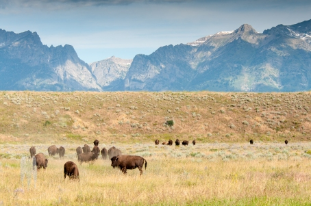 Sure, lots of people have this image. Tetons, buffalo, big deal. But I love it because there is no obvious sign of people in the huge landscape that stretches from sagebrush to ten thousand foot peaks. This is wilderness and I'm glad I could see it, even if it's a fraction of what used to exist across North America. (2011)