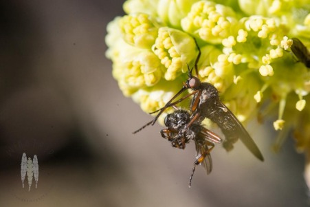 A dance fly with a crumpled prey item.