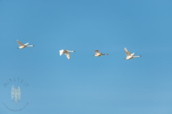 Trumpeter Swans flying by in the Skagit Valley.