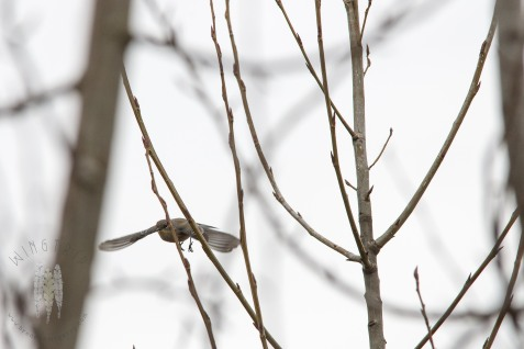 An Audubon's Yellow-rumped Warbler flies between cottonwood tops.